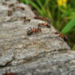 Het bestrijden van een mierenplaag in de tuin